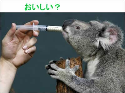 コアラが薬を飲む姿