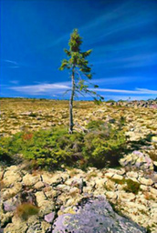 樹齢9550年のトウヒ。古い低木の根から新しい幹が伸びている