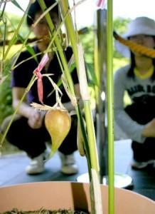 茎から垂れ下がって咲いた花の先端近くで大きく膨らんだ竹の実