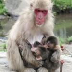 お母さんザルにしがみついて、おっぱいを飲む双子の赤ちゃんザル